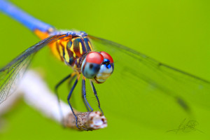 dragonfly-stare